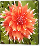 Dahlia Bloom Flower Acrylic Print