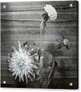 Dahlia Grouping Acrylic Print