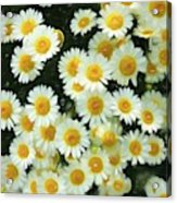 Daisy Crazy For You Acrylic Print