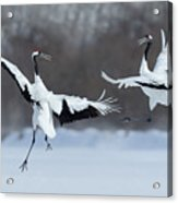 Dancing Pair Of Red-crowned Cranes With Acrylic Print