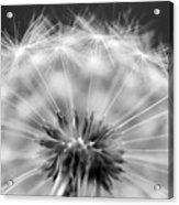 Dandelion Seeds Pod Macro Acrylic Print