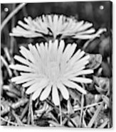 Dandelion Up Close And Personal Black And White Acrylic Print