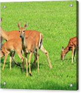 Deer Looking At You Acrylic Print