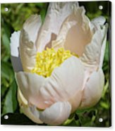 Delicate Pastel Peach Cupped Peony Blossom Acrylic Print
