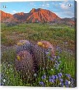 Desert Bluebell In Spring With Barrel Acrylic Print