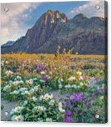 Desert Sand Verbena, Desert Sunflower Acrylic Print