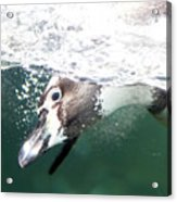 Dive Penguin Dive Acrylic Print