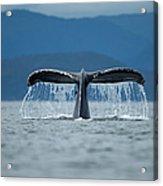 Diving Humpback Whale, Alaska Acrylic Print