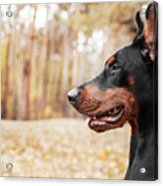 Doberman Pinscher On The Background Of Acrylic Print