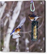 Docking Bluebird Acrylic Print
