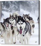 Dog-sledding With Huskies Acrylic Print