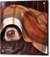 Dog Sleeps Under The Blanket Acrylic Print