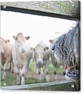 Dog Watching Cows Through Fence Acrylic Print