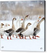 Domestic Geese Outdoor In Winter Acrylic Print