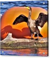 Double Crested Cormorant    Drying Wings         September        Indiana Acrylic Print