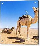 Draa Valley, Camel At Tinfou Acrylic Print