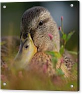 Duck 1 Acrylic Print