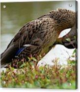 Duck 3 Acrylic Print