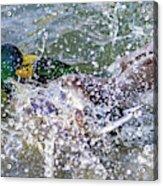 Duck Fight Acrylic Print