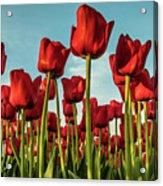 Dutch Red Tulip Field. Acrylic Print