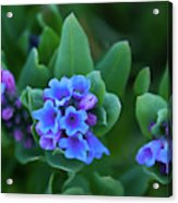 Dwarf Bluebell Detail Acrylic Print