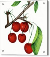 Early Richmond Cherries Acrylic Print