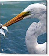 Egret Feeding  Acrylic Print