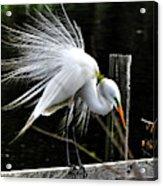 Egret Pride Acrylic Print