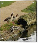 Egyptian Geese Acrylic Print