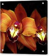 Orange Cimbidium Orchid Acrylic Print