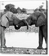 Elephants Curling Trunk Acrylic Print