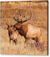 Elk And Mate In Rocky Mountain Meadow Acrylic Print