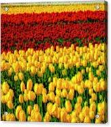 Endless Tulip Fields Acrylic Print