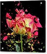 Exploding Rose Acrylic Print