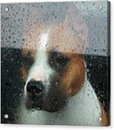Faithful Dog Sitting In A Car And Acrylic Print