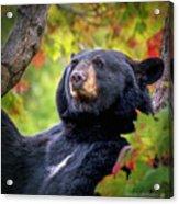 Fall Black Bear Acrylic Print