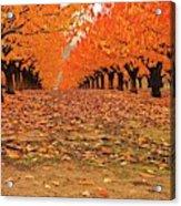 Fall Cherry Trees Acrylic Print