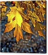 Fall Has Sprung Acrylic Print