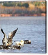 Fall Migration At Whittlesey Creek Acrylic Print