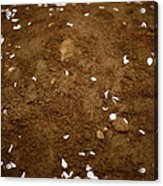 Fallen Apple Blossoms On Mound Of Soil Acrylic Print