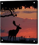 Fallow Stag At Sunset Acrylic Print