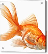 Fancy Goldfish Acrylic Print