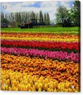 Farming Tulips Acrylic Print