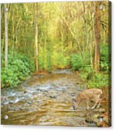 Fawn Drinking From Stream Acrylic Print