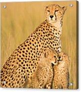 Female Cheetah Acynonix Jubatus With Acrylic Print