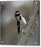 Female Downy Woodpecker Acrylic Print