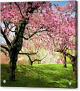 Cherry Orchard Afternoon Acrylic Print