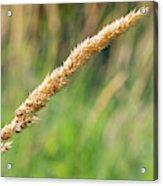 Field Grass Acrylic Print