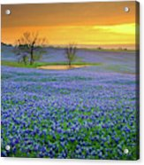 Field Of Dreams Texas Sunset - Texas Bluebonnet Wildflowers Landscape Flowers  Acrylic Print