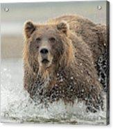 Fish Coastal Brown Bear Of Alaska Acrylic Print